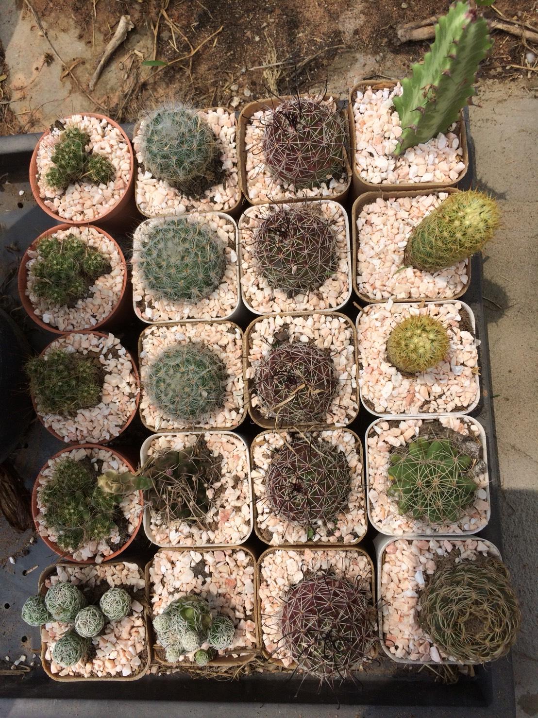 กระบองเพชร cactus กระถางละ 30 บาท