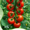 String Tomatoes seeds