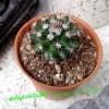 Mammillaria magnimamma