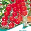 เมล็ดมะเขือเทศ Red Cherry Tomato