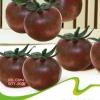 Purple pearl tomato