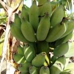 กล้วยน้ำว้า ปากช่อง50
