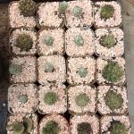 กระบองเพชร cactus กระถางละ 25 บาท