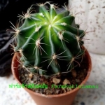 Echinocactus grusonii (ถังทอง)