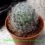 Mammillaria bocasana thumbnail 1
