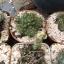 กระบองเพชร cactus กระถางละ 30 บาท thumbnail 9