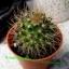 Mammillaria nivosa thumbnail 1