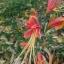 ว่านมหาลาภ (Eucrosia bicolor) thumbnail 2