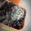 กระบองเพชร cactus thumbnail 15