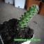 กระบองเพชร cactus thumbnail 1