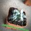 กระบองเพชร cactus thumbnail 2
