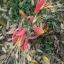 ว่านมหาลาภ (Eucrosia bicolor) thumbnail 4