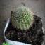 กระบองเพชร cactus thumbnail 13