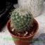 Mammillaria prolifera thumbnail 1