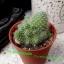 Mammillaria sp. thumbnail 1