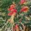 ว่านมหาลาภ (Eucrosia bicolor) thumbnail 1