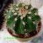 Mammillaria mammillaris thumbnail 1