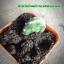 กระบองเพชร cactus thumbnail 6