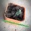 กระบองเพชร cactus thumbnail 9