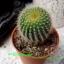 Notocactus leninghausii (กระบองทอง) thumbnail 1
