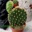 Opuntia microdasys var. albispina thumbnail 1