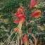 ว่านมหาลาภ (Eucrosia bicolor) thumbnail 3