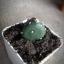 กระบองเพชร cactus thumbnail 11