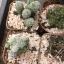 กระบองเพชร cactus กระถางละ 30 บาท thumbnail 10