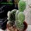 Opuntia microdasys var. pallida thumbnail 1