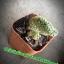 กระบองเพชร cactus thumbnail 3