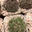 กระบองเพชร cactus กระถางละ 30 บาท thumbnail 4
