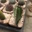 กระบองเพชร cactus กระถางละ 30 บาท thumbnail 7