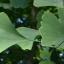 Puritan's Pride Ginkgo biloba 120 mg 200 เม็ด ใบแป๊ะก๊วย ช่วยเรื่องความจำ จากอเมริกาค่ะ thumbnail 2