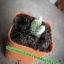 กระบองเพชร cactus thumbnail 7