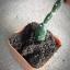 กระบองเพชร cactus thumbnail 8