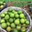 มะนาวแคลิฟอร์เนีย ไร้เมล็ด (California lime) thumbnail 2